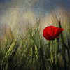 In the Field II (Fuji and I) Tags: flowers red summer green nature textures bulgaria poppies fields tatot magicunicornverybest selectbestexcellence sbfmasterpiece alexarnaoudov