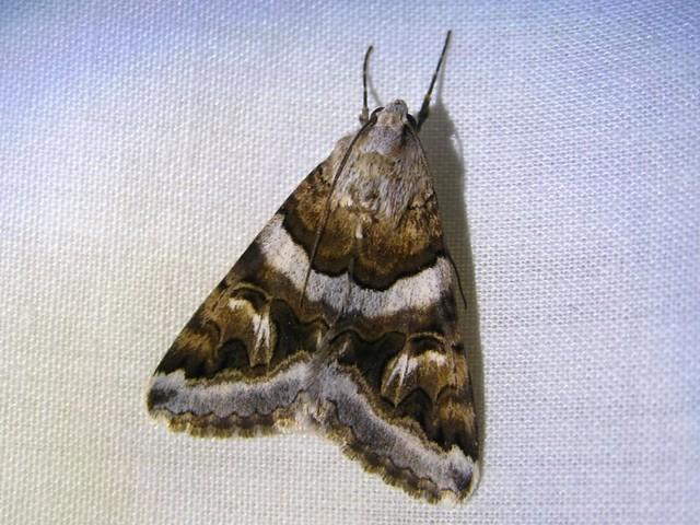 pretty moth