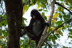 Monkey (kh1234567890) Tags: monkey pentax malaysia langkawi 50200mm wr 23feb k7 tanjungsanctuary smcpda50200mmf456edwr smcpentaxda50200mmf456edwr