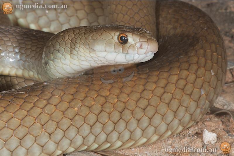 Mengden's brown snake (Pseudonaja mengdeni)