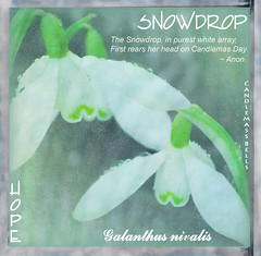 Snowdrops (virtually_supine popping in and out) Tags: flowers colour closeup droplets graphic artistic creative manipulation textures snowdrops layers springflowers blending tistheseason itg photoshopelements7 theawardtree daarklands magicunicornverybest verbalabdvisual flowerlore