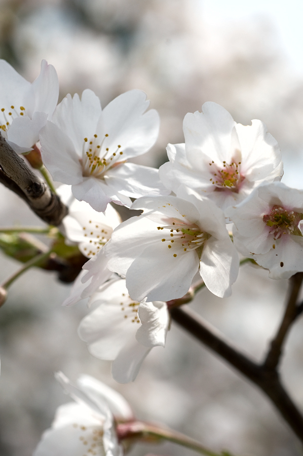 桜(2010) 滋賀県