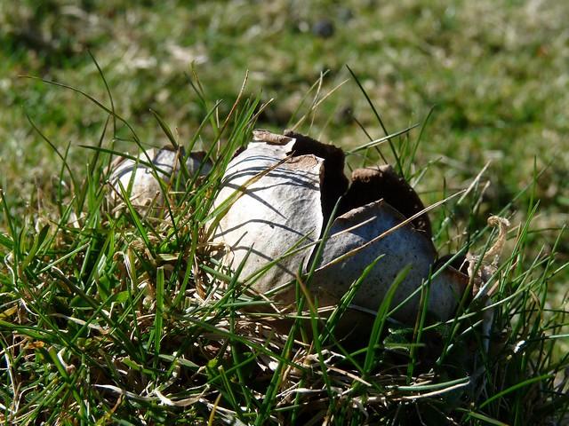 24001 - Mushroom, Mewslade, Gower