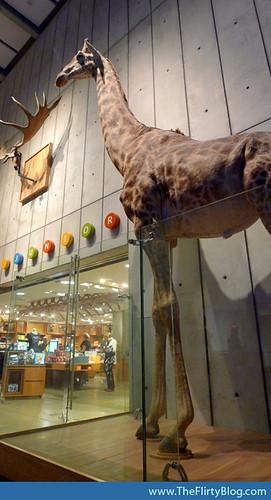 giraffes-natural-history-museum