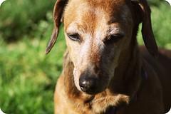 Enjoying the Sun (Bloom Photography!) Tags: sun adorable warmth dachshund enjoying littlemiss minituredachshund girlley girlleymae littlemissgirlleymaebloom girlleymaebloom girlleybloom girwee