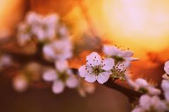 Blossom at sunset ({katesea}) Tags: flowers light sunset white macro spring blossom bokeh colourful nikkor 105mmf28 d90 nikond90