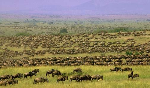 Kenya Wildlife Safari: The Wildebeest Migration
