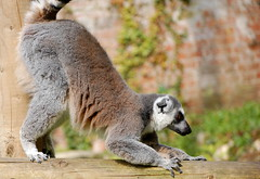 Ready to pounce.... (AmyWilton) Tags: life park wild danger zoo wildlife ring lemur species endangered marwell tailed threatened critically