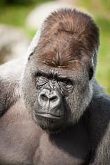 2011-03-25-11h27m04.272P9212 (A.J. Haverkamp) Tags: zoo rotterdam blijdorp gorilla dierentuin diergaardeblijdorp westelijkelaaglandgorilla bokito httpwwwdiergaardeblijdorpnl canonef100400mmf4556lisusmlens dob14031996 pobberlingermany