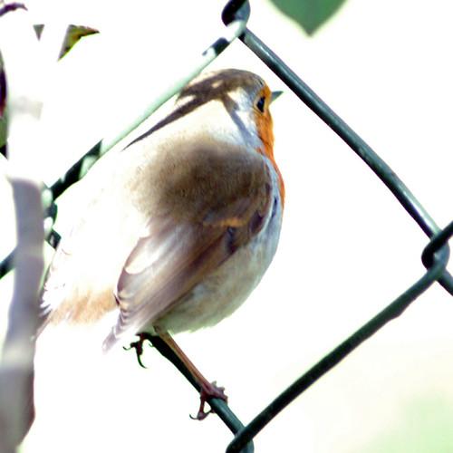 Robin, Bleached