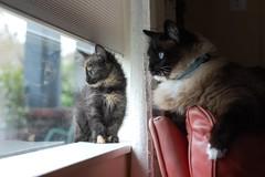 DSC_0004 (*lalalaurie) Tags: thanks kittens kitties ittybittykittycommittee lauriecinotto ibkc themagnificentmedleyfamily pleasedontusemypictureswithoutseekingmypermission
