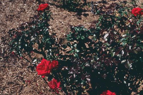 velvet roses