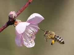 Barackvirg s a mh. (Szily Csaba) Tags: flower macro nature bee peachflower mh barackvirg