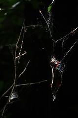 leaf (MelindaChan ^..^) Tags: light plant dark leaf bokeh web spiderweb mel shade malaysia melinda  serendah hbw sooc chanmelmel melindachan