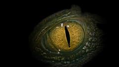I see you... (michel1276) Tags: auge eye kaiman cayman tier animal tierpark bochum ngc