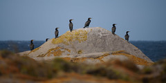Look Right (Rodney Campbell) Tags: southcoast birds lccp montagueisland newsouthwales australia au
