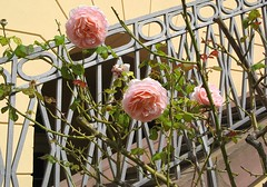 Tglich lass dir zu Herzen gehn (amras_de) Tags: schlossfreudenberg freudenberg wiesbaden dotzheim parkanlage parc park parko parque parke puisto parkas parks parkovi rose rosen rua rosa rue rozo roos arrosa ruusut rs rzsa roe rozes rozen roser rza trandafir vrtnica rosslktet gl blte blume flor cvijet kvet blomst flower floro is lore kukka fleur blth virg blm fiore flos iedas zieds bloem blome kwiat floare ciuri flouer cvet blomma iek