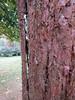 Strange bark (wallygrom) Tags: england angmering honeylane treehouse tree sequoiadendrongiganteum