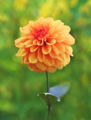 Golden Dahlia (ekaterina alexander) Tags: golden dahlia autumn blossom bloom ekaterina england alexander sussex orange flower flowers nymans garden gardens national trust nature photography pictures
