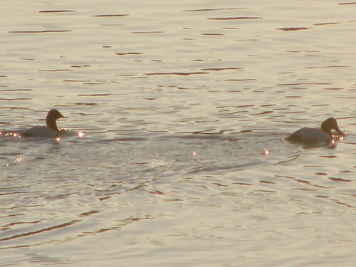male Canvasbacks