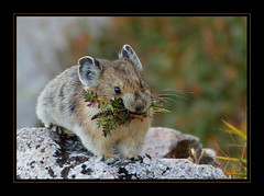 Pika (gainesp2003) Tags: food evans colorado mt wildlife storage pica co pika