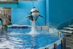 January 26 2011 (Seals4Reals) Tags: world sea baby orlando florida cove dolphin nursery believe killer whale orca seaworld calf shamu bottlenose orcinus killler tursiops