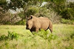 Black Rhino (dionisis varouxis) Tags: flickr wildlife safari blackrhino facebook phinda 201012southafrica