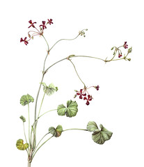 Pelargonium sidoides (Sigrid Frensen) Tags: illustration painting southafrica watercolour pelargonium botanicalart umckaloabo pelargoniumsidoides