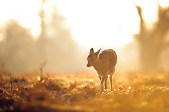 golden awe (andrew evans.) Tags: lighting wood morning autumn trees light england sun mist tree nature misty fog fairytale forest sunrise golden countryside kent woods nikon bokeh wildlife warmth calm deer ethereal flare wonderland storybook magical f28 enchanted d3 400mm