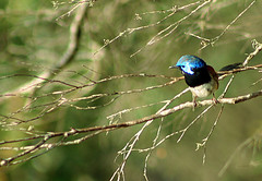 Variegated Fairy Wren (Shut up & let me see your jazz hands) Tags: blue male bird fairy variegated wren