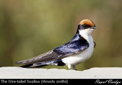 wire tailed swallow (Hirundo smithii) (vaidyarupal) Tags: wild india bird nature birds martin aves swallow avian gujarat ahmedabad hirundinidae trush wiretailedswallow hirundosmithii vaidyarupal sigma150500mm canon1000d rupalvaidya