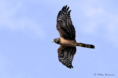 Northern Harrier Fly-by (Mike Forsman) Tags: bird nature fauna flying hawk flight raptor wetlands venturacounty harrier bif oxnard birdinflight porthueneme ormondbeach northernharrier circuscyaneus californiausa 70300vr nikond300