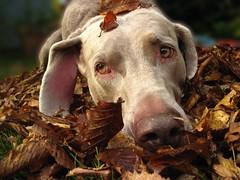 IMG_3627_bb (paraleptomys) Tags: autumn shadow dog brown fall beautiful leaves grey ghost herbst grau hund weimaraner finn phantom weim