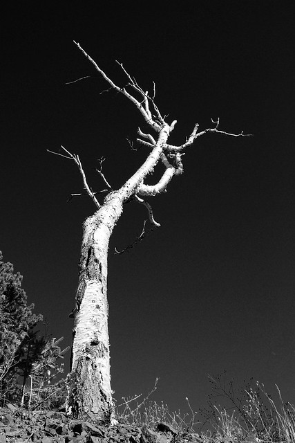 A beach tree in black and white