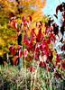 Cofrin Arboretum - fall 1998 (Mark.Swanson) Tags: autumn fall colors wisconsin maple university arboretum sugar greenbay 1998 dogwood yashica fx7 cornus uwgb cofrin