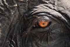 Bloodshot eys (briyen) Tags: elephant eye flickrchallengegroup flickrchallengewinner