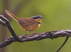 Tapaculo-de-colarinho (Collared Crescentchest) (Bertrando) Tags: nature birds wildlife natureza aves birdwatching pssaros collaredcrescentchest melanopareiatorquata tapaculodecolarinho
