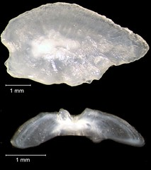 Summer Flounder Otolith (FWC Research) Tags: fish florida research otolith