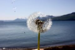 Blowing a wish on a dandelion in Icy Strait, Alaska. (runintherain) Tags: ocean flowers usa snow mountains nature water alaska flora bokeh ak hoonah icystraitpoint canonxsi canon450dxsi runintherain