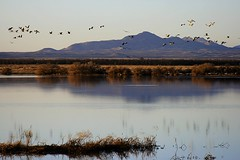 Sandhill Cranes at Whitewater Draw (San Francisco Gal) Tags: sunset arizona mountain reflection bird nature water canon crane az vegetation bisbee soe sandhill mygearandme mygearandmepremium mygearandmebronze aboveandbeyondlevel1 vigilantphotographersunite vpu2 vpu3 vpu4 vpu5 vpu6 vpu7 vpu8 vpu9 vpu10