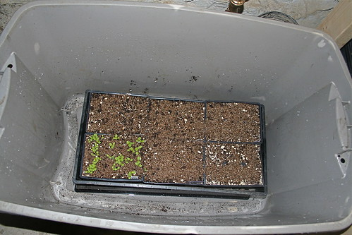seedlings ready to be watered
