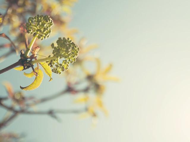Spring - Tree Buds