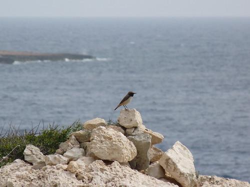 Kurdstenskvätta, Cape Greco, Cypern
