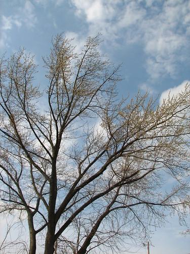 maple tree in bloom