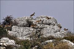 8 little goats... (leuntje) Tags: españa spain andalucia limestone andalusia mountaingoat antequera spanje eltorcal andalusië spanishibex eltorcalparknaturereserve parquedeltorcaldeantiquera villanuevadelaconceptión