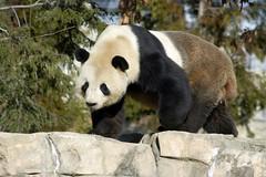 Meet Tian Tian: The Hybrid Pan