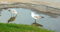 # 1 drink of water (dominotic) Tags: reflection beach water grass rocks drink ripple seagull gull sydney paddle australia nsw paddling clovelly rockpool flickrsilveraward platinumheartaward platinumbestshot mygearandme naturespotofgoldlevel2 soe2ndchance