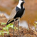 African Spur-winged Lapwing, Vanellus spinosus