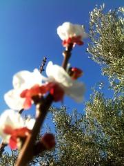 Olivier et Abricotier    (Jamal Elkhalladi) Tags: nature fleurs morocco maroc milli  hassi   abricotier berkane   triffa
