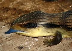 Common Blue Tongue Lizard or Skink ( Tiliqua scincoides ) (soneld) Tags: australia lizard canberra act bluetonguelizard skink tiliquascincoides giralang commonbluetongue